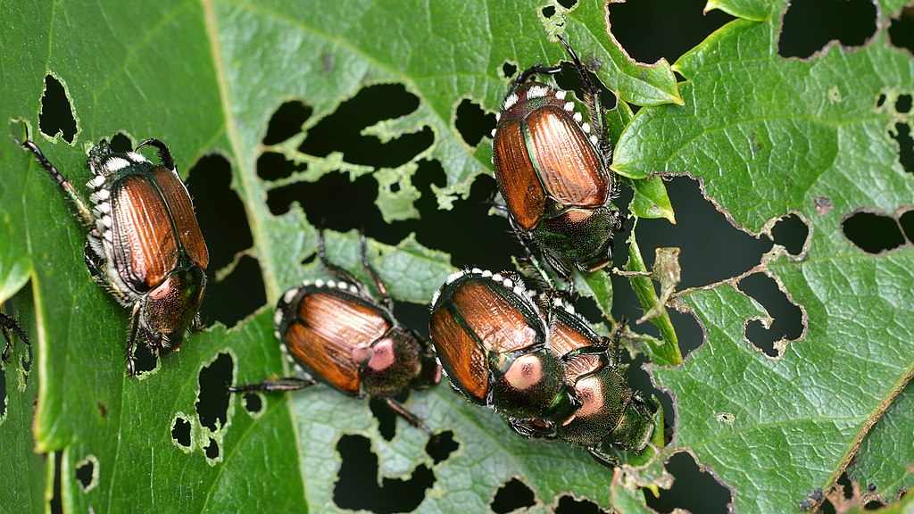 1024px-Japanese_Beetles_(Popillia_japonica)_-_Guelph,_Ontario