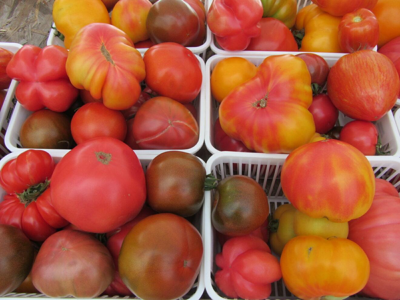 Grow a Rainbow of Tomatoes