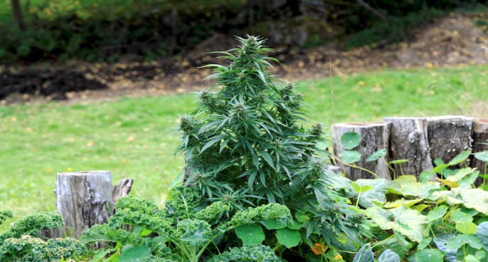 Growing Cannabis Legally