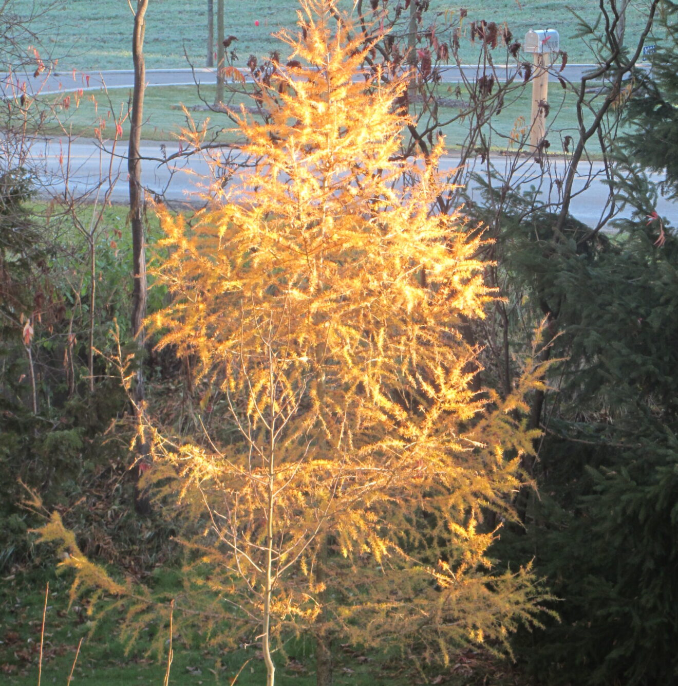 Glowing tamarack tree in fall