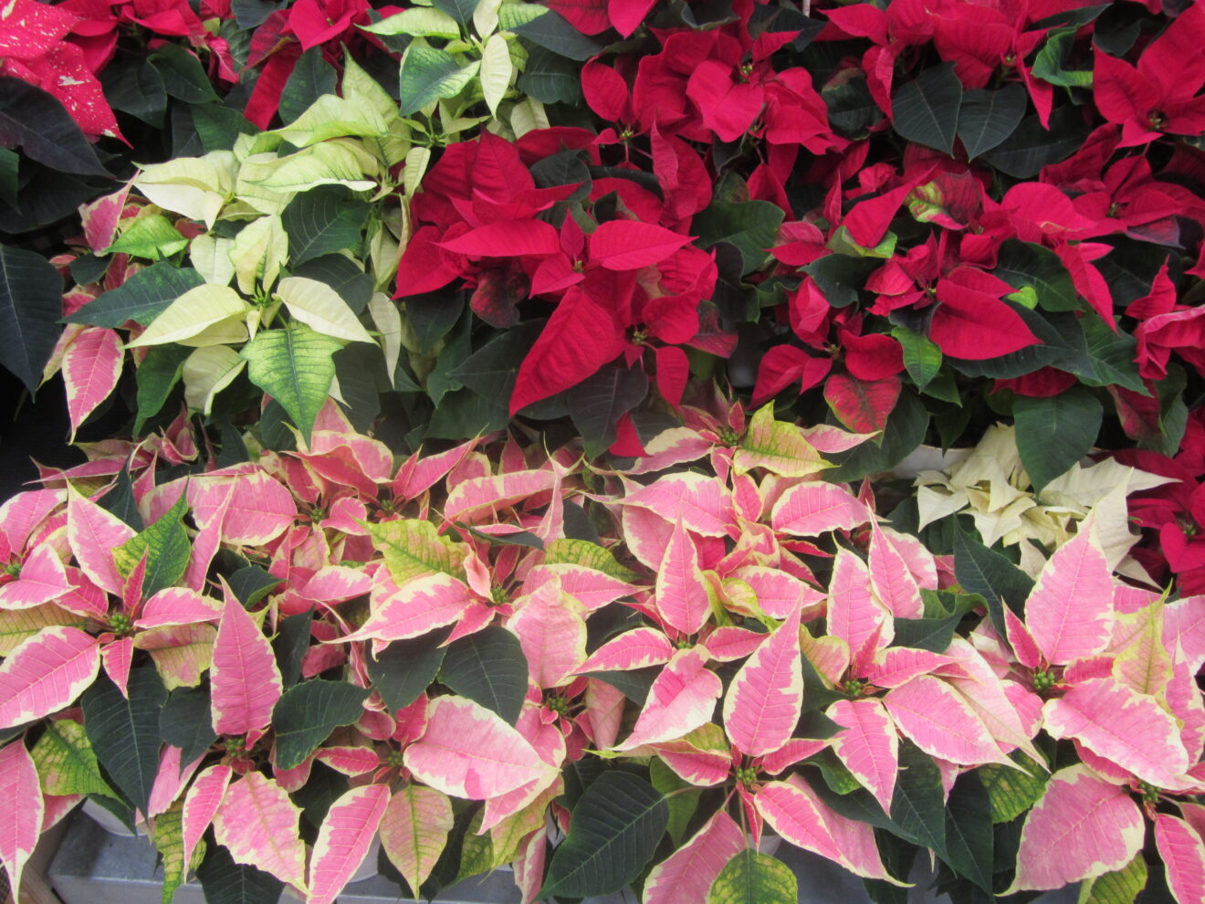 Poinsettias brighten every home - and they are not poisonous