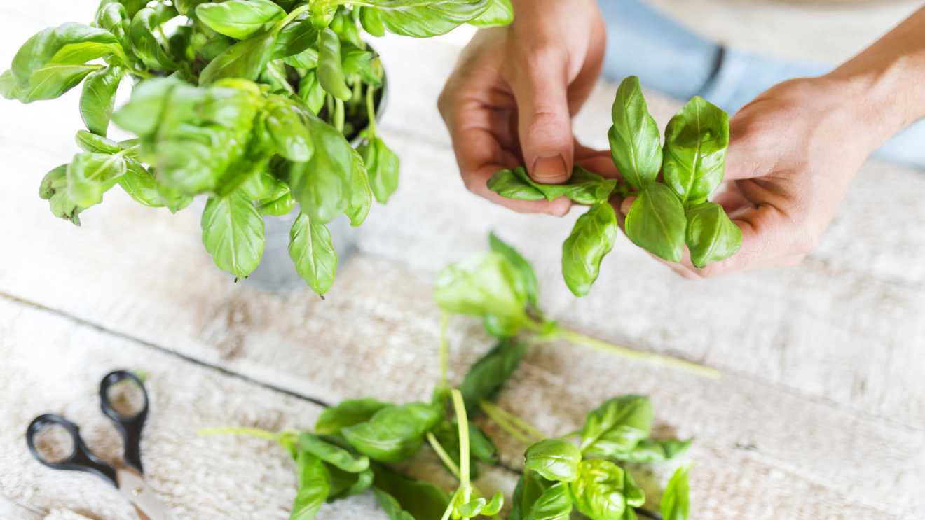 Growing an endless supply of Basil