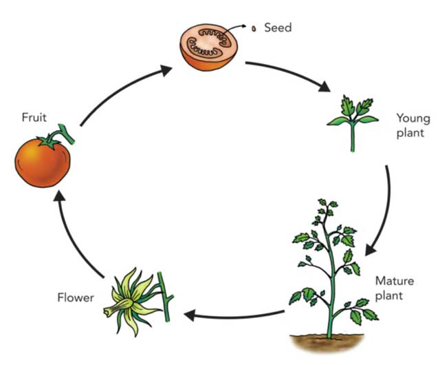 Basic Lifecycle of Plants - learn and grow