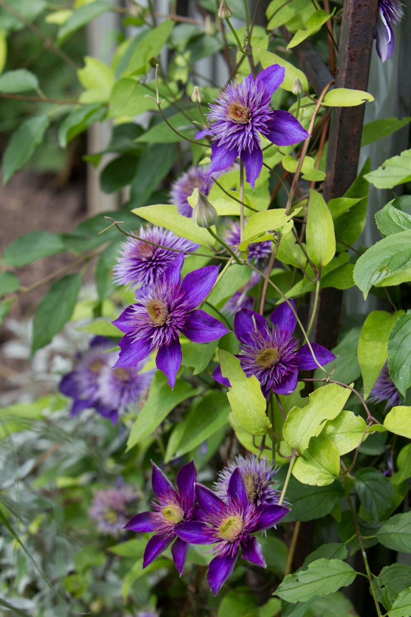 Pruning Clematis - Its All about Groups