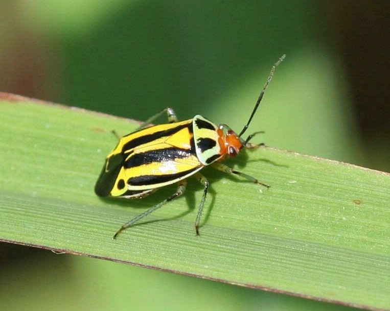 Four-lined Plant Bugs - Munching leaves near you!