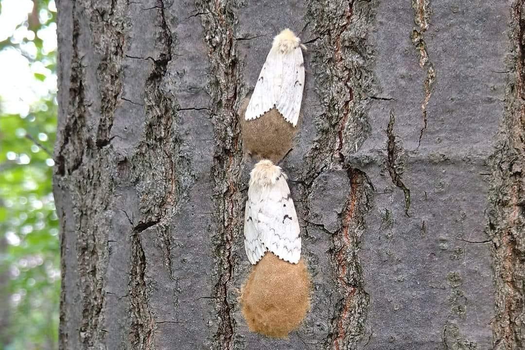 female gypsy moths laying eggs